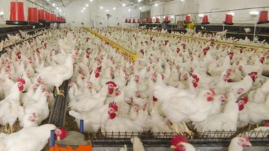 Photo of Profitable Poultry Farming Business In India With Benefits